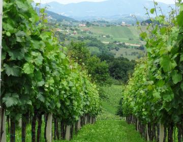 Vinograd na Kozjanskem, foto: Polona Starc