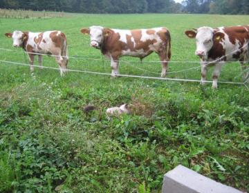 Krave na paši foto: Polona Starc