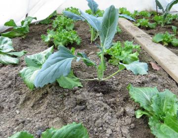 Foto: Igor Škerbot - zgodnja solata in kolerabica v rastlinjaku se prekrivata s kopreno za dodatno zaščito