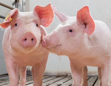 https://www.fwi.co.uk/livestock/livestock-feed-nutrition/5-zinc-oxide-alternatives-for-pigs-compared